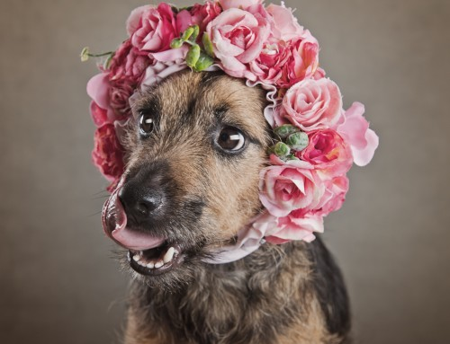 Dog Photos Shoot in Somerset Photography Studio