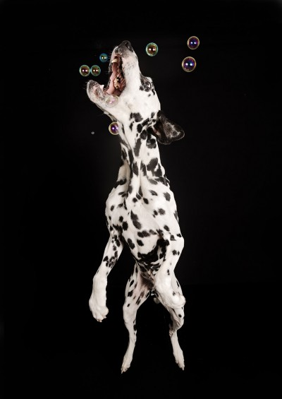 Bubbles Blowing bubbles are a great way of adding some fun into a photo session. Some dogs just ignore them, but you get a few that love to chase all the bobbles around the studio.